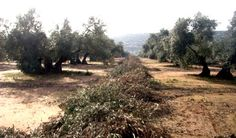 Olive prunings can be used as raw materials for energy production.
