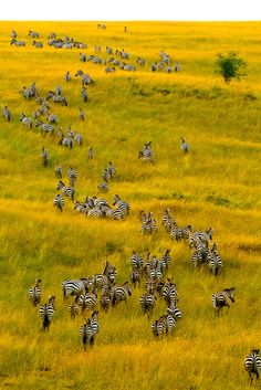 An aerial view of a herd of zebra on the move, Masai Mara National Reserve, Kenya.