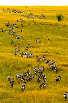 An aerial view of a herd of zebra on the move, Masai Mara National Reserve, Kenya | Blaine Harrington