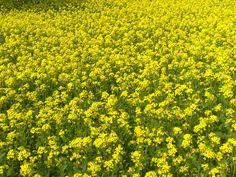Mustard plant bangladesh
