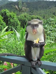 Grenada - Mona monkey has lunch