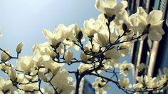 I like magnolia :)