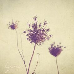 Nature Photography - botanical art vintage neutral tones dried Queen Annes Lace flowers photograph 8x8 - Faded Lace 2. $30.00, via Etsy.