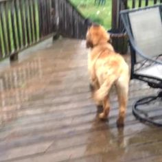 Ginny catching raindrops #leonberger #dog #rain