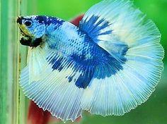 Blue White Dragon HM Siamese Fighting Fish, Little Fish, White Dragon, Betta Fish, Koi, Underwater, Butterflies, Blue And White, Flowers