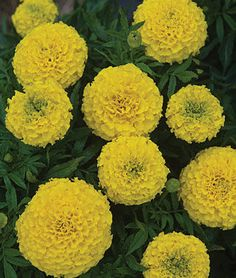 Taishan Yellow Marigold Seeds and Plants, Annual Flower Seeds at Burpee.com