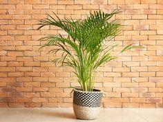 Macskapálma – gondozása, igényei, szaporítása, betegségei Echeveria, Plants, Amaryllis, Climbing Vines, Ground Cover Plants, Plant, Planets