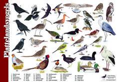 Herkenningskaart / zoekkaart Plattelandsvogels