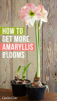 Get more Amaryllis blooms! See our tips for growing Amaryllis and how to get them to bloom a year Amaryllis Care, Amaryllis Plant, Amaryllis Bulbs, Amaryllis Flower Ideas, Balcony Plants, Garden Plants, Indoor Plants, House Plants, Orchids Garden