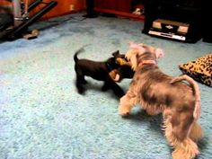 YouTube video - Bosh and puppy Rondo playing.