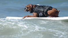 Surfing dog competition | Surfing dogs | News.com.au