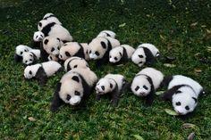 Μωρά πάντα που γεννήθηκαν το 2015 τοποθετούνται στο γρασίδι για να φωτογραφηθούν σε ένα κέντρο αναπαραγωγής γιγαντιαίων πάντα στο Ya'an της επαρχίας Σετσουάν, Κίνα 24/10/2015.