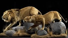 Image from http://www.animalartistry.com/pb/cats-lions/images/LionsPair0026.jpg.