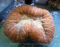 Lobophyllia corymbosa brown-red - LPS - Acquario marino tropicale