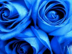 These roses are part of a bouquet that my co-workers gave me the day before my wedding. They are so beautiful Blue roses Bunch Of Red Roses, Blue Roses, Blue Flowers, Flower Phone Wallpaper, Rose Wallpaper, Trendy Wallpaper, Rose Pictures, Beautiful Pictures, Beautiful Roses