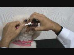 Como escovar os dentes de seu Cão