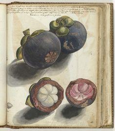 Manggistan, Jan Brandes, 1784  #dailyconceptive #diarioconceptivo
