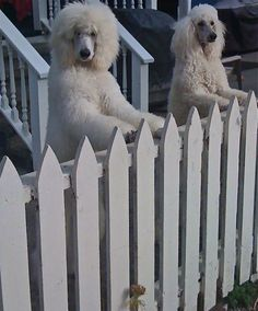 """Standard Poodle Picket Fence Prisoners""  Who are they?? Rodeo? Tori? Vision?"