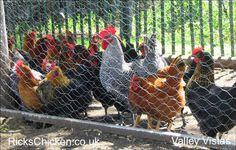 chicken takeover