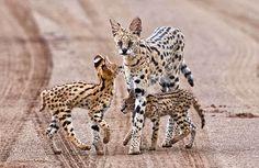 espécies de felinos- serval