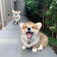 Cute Corgi Puppy, Corgi Dog, Cute Dogs And Puppies, Funny Puppies, Pomeranian Puppy, Husky Puppy, Cute Little Animals, Cute Funny Animals, Sweet Dogs