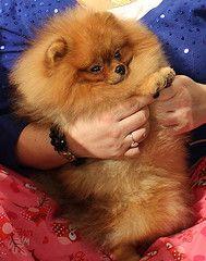 Кому подходят собаки породы померанский шпиц?