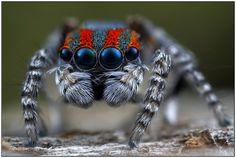 Maratus volans - (peacock spider)