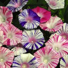 Morning Glory Carnival mixed- Have been growing these for  years, they create and impressive display, up  any pole or wall.
