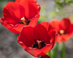 tulips in bloom. Blink Photography, Spring Time, Tulips, Bloom, Flowers, Plants, Plant, Royal Icing Flowers, Tulip