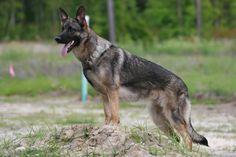 Blue Sable German Shepherd Dog | Golden Tan/Sable colour development - German Shepherd Dog Forums
