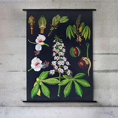 Horse Chestnut Botanical Wall Chart