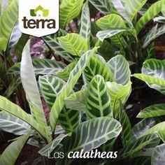 Las Calatheas son plantas que funcionan muy  bien tanto al interior como al exterior de nuestras fincas, son absolutamente hermosas por sus grandes hojas y manchas de colores, muy recomendadas para decorar tus espacios.