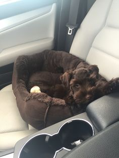 """Acquire great pointers on """"schnauzer puppies"""". They are actually offered for you on our internet site. Miniature Schnauzer Puppies, Schnauzer Puppy, Schnauzers, Cute Small Animals, Puppy Room, Crazy Dog Lady, Most Popular Dog Breeds, Dog Crate, Beautiful Dogs"""