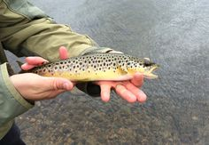 Highland Trout :-)