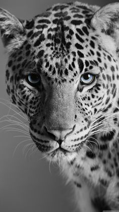 Black and White – Black and White – …, … – Animal Wallpaper And iphone Animal Jaguar, Nature Animals, Animals And Pets, Cute Animals, Exotic Animals, Animals Black And White, Black And White Pictures, Elephant Black And White, Black White