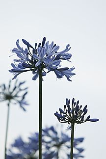 Germany, Baden Wurttemberg, Agapanthus, close up