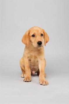 Abdiel the Labrador Retriever/Terrier Mix