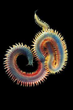 Alexander Semenova - Arctic Biologist Shares Astonishing Sea Creatures With the World. (Alitta virens)