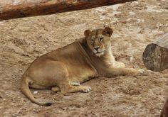 Leona en Río Safari Elche Lyoness at Rio Safari Elche (Alicante, #Spain) #CostaBlanca Panther, Safari, Female Lion, Parks, Animales, Panthers, Black Panther