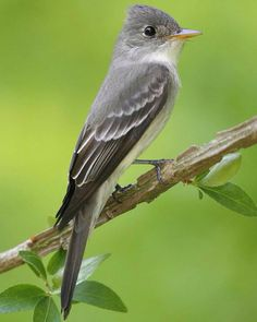 Eastern Wood Pewee - small tyrant flycatcher from North America. This bird and the western wood pewee were formerly considered to be a single species.  Scientific name: Contopus virens