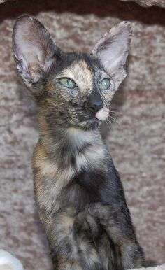 Tortie Oriental Shorthair Cat