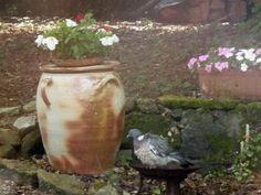 pigeon à l'heure du bain
