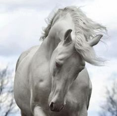 Image via The Most Gorgeous Horses of Different Colors You've Ever Seen. - grabberwocky Image via Equine Photography - Horse - Andalusian Horse. Horse Photos, Horse Pictures, Animal Pictures, All The Pretty Horses, Beautiful Horses, Animals Beautiful, Beautiful Beautiful, Absolutely Gorgeous, Beautiful Things