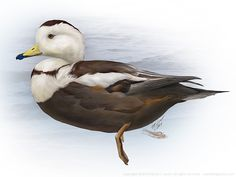 http://patricklynchdesign.files.wordpress.com/2014/03/labrador-duck-1000px.jpg