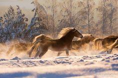 Golden horses.jpg - The herd of golden Haflingers galloping through the snow at sunrise