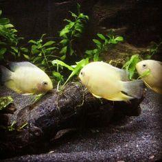 Tabalkon aqua 3d akvaryum fonları  Severum fish aquarium balık