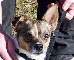 *** GREAT NEWS! *** I'VE BEEN ADOPTED!!!  Searcy, AR - Chihuahua/Terrier (Unknown Type, Small) Mix. Meet Droolz, a dog for adoption. http://www.adoptapet.com/pet/12587783-searcy-arkansas-chihuahua-mix