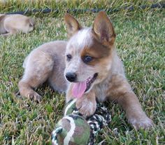 This will be my next puppy! A red heeler