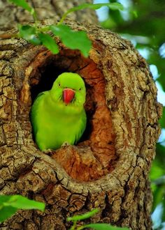 The Indian Ringneck is classified as a smaller parrot known as a parakeet. They have a hooked beak, a long tail, & moderate in size. They are about 16 inches in length & have a stealthy appearance that sets them apart from most exotic birds Kinds Of Birds, All Birds, Love Birds, Beautiful Creatures, Animals Beautiful, Cute Animals, Wild Animals, Most Beautiful Birds, Pretty Birds