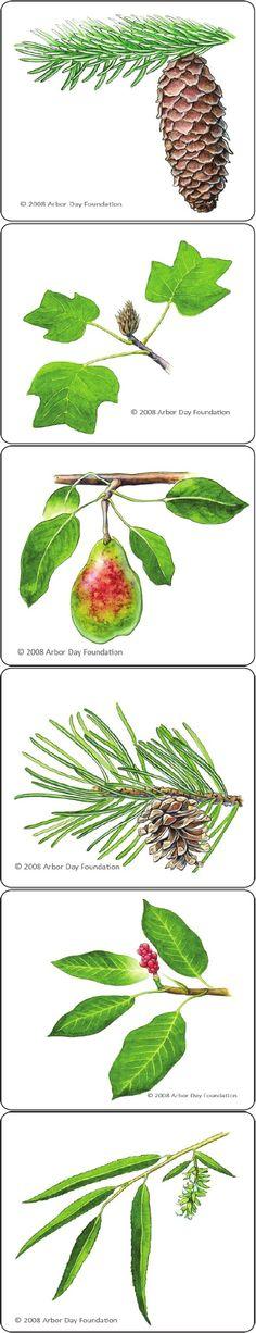 Printable leaf identification cards